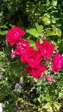 Rosas en jardín Fotografía de archivo