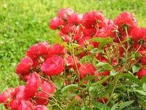 Rosas en jardín foto de archivo libre de regalías