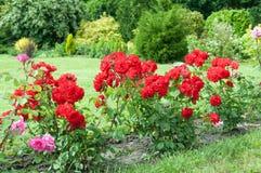 Rosas en jardín Imagenes de archivo