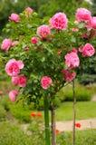 Rosas en jardín Foto de archivo