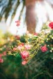 Rosas en la calle Las rosas rosadas y rojas crecen en las calles de M Fotos de archivo libres de regalías