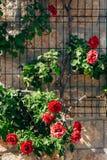 Rosas en la calle Las rosas rosadas y rojas crecen en las calles de M Foto de archivo