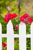 Rosas en la cerca de piquete imagenes de archivo