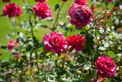 Rosas en la floración Imagen de archivo