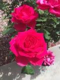 Rosas en la floración Fotos de archivo libres de regalías
