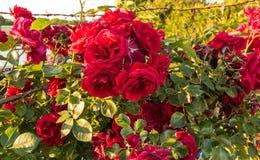Rosas en la floración Imagen de archivo libre de regalías