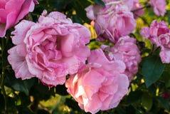 Rosas en la floración Foto de archivo libre de regalías