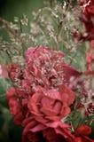 Rosas en la hierba Imágenes de archivo libres de regalías