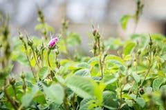 Rosas en la meseta de Saiq Imagen de archivo libre de regalías