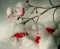Rosas en la nieve Imagen de archivo libre de regalías