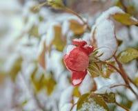 Rosas en la nieve Fotos de archivo libres de regalías