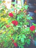 Rosas en la pared Imagen de archivo libre de regalías