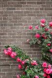 Rosas en la pared de ladrillo Imagen de archivo