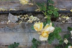 Rosas en la piedra Imagen de archivo libre de regalías