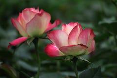 Rosas en primavera Imagenes de archivo