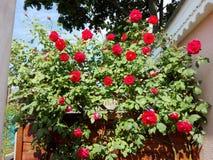 Rosas en un jardín Imagenes de archivo
