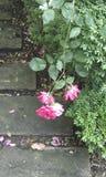 Rosas en un patio Imagen de archivo libre de regalías