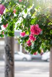 Rosas en una acera de la ciudad foto de archivo libre de regalías