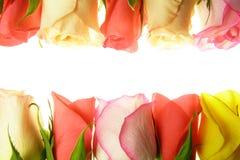 Rosas en una fila imágenes de archivo libres de regalías