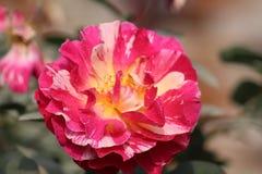 Rosas encantadoras imagen de archivo libre de regalías