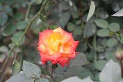 Rosas encantadoras fotos de archivo