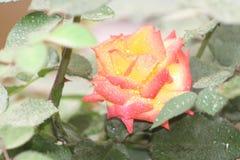Rosas encantadoras imagenes de archivo
