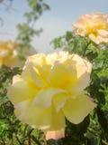 Rosas enfocadas artísticas fotos de archivo