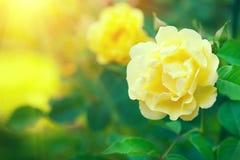 rosas A escalada amarela bonita aumentou florescendo no jardim do verão Crescimento de flores das rosas amarelas fora fotos de stock royalty free