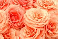 Rosas exquisitas Imagen de archivo libre de regalías