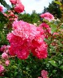 Rosas feericamente bonitas Fotografia de Stock Royalty Free
