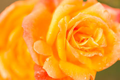 Rosas florecientes Imagenes de archivo