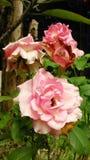 Rosas florecientes Fotos de archivo libres de regalías