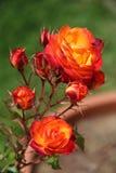 Rosas florecientes Fotografía de archivo