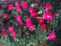 Rosas florecientes Fotos de archivo