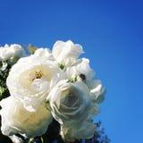 Rosas florecientes agrupadas juntas Foto de la vendimia Imagen de archivo libre de regalías