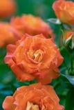 Rosas florecientes de Bush Imagen de archivo libre de regalías