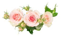 Rosas florecientes de la violeta Imagen de archivo libre de regalías
