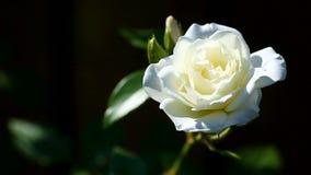 Rosas florecientes del blanco hermoso