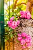 Rosas florecientes del rosa salvaje Imágenes de archivo libres de regalías