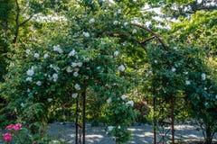 Rosas florecientes en el cenador 2 Imagen de archivo