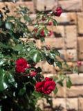 Rosas florecientes en el jardín Fotografía de archivo