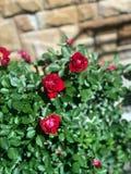 Rosas florecientes en el jardín Imagenes de archivo