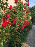 Rosas florecientes en el jardín Foto de archivo