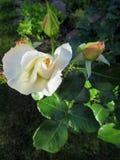 Rosas florecientes en el jardín Fotos de archivo libres de regalías
