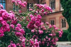 Rosas florecientes en un parque inglés viejo Fotografía de archivo libre de regalías