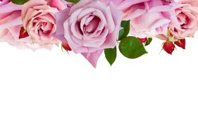 Rosas florecientes rosadas Foto de archivo libre de regalías