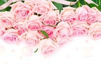 Rosas florecientes rosadas Fotos de archivo