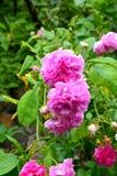 rosas Flores agradáveis na primavera no jardim Imagens de Stock Royalty Free