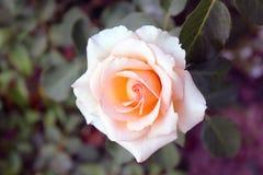 rosas Flores bonitas no close up do jardim fotografia de stock
