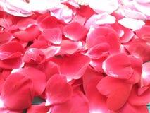 Rosas fondo, cumpleaños de los pétalos fotografía de archivo libre de regalías
